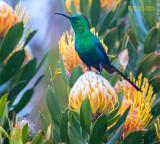 Emeraldhoningzuiger - Malachite Sunbird - Nectarinia famosa