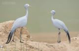 Stanleys Kraanvogel - Blue Crane - Ardea paradisea