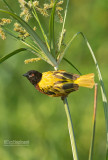 Jackson's wever - Golden-backed Weaver - Ploceus jacksoni