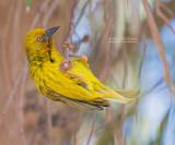 Kaapse Wever - Cape Weaver - Ploceus capensis