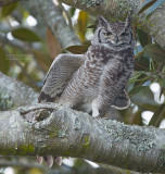 Afrikaanse Oehoe - Spotted Eagle-Owl - Bubo africanus