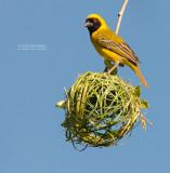 Maskerwever - Southern Masked-Weaver - Ploceus velatus