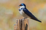 Witkeelzwaluw - White-throated Swallow - Hirundo albigularis
