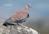 Guineaduif - Speckled Pigeon - Columba guinea