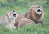 Transvaalse leeuw - Transvaal lion - Panthera leo krugeri