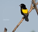 Fluweelwidavink - Yellow Bishop - Euplectes capensis