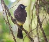 Kaapse Buulbuul - Cape Bulbul - Pycnonotus capensis