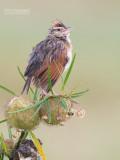 Roodnekleeuwerik - Rufous-naped Lark - Mirafra africana