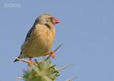 Roodbekwever - Red-billed Quelea - Quelea quelea