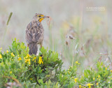 Kaapse Langklauw - Cape Longclaw - Macronyx capensis