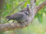 Kaapse Tortel - Ring-necked Dove - Streptopelia capicola