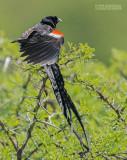 Hanenstaartwidavink -  Long-tailed Widowbird - Euplectes progne