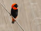 Grenadierwever - Southern Red Bishop - Euplectes orix