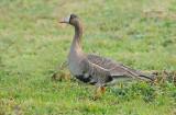Kolgans - Greater white-fronted goose - Anser albifrons
