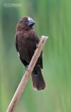 Dikbekwever - Grosbeak Weaver - Amblyospiza albifrons