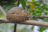 Okerkleurige Boseekhoorn - Ochre Bush Squirrel - Paraxerus ochraceus aruscensis