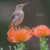 Kaapse Suikervogel - Cape Sugarbird - Promerops cafer