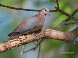 Palmtortel - Laughing dove - Streptopelia senegalensis
