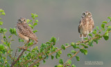 Holenuil - Burrowing Owl - Athene cunicularia brachyptera