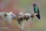 Irazu-kolibrie - Fiery-Throated Hummingbird - Panterpe insignis