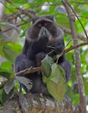 Diadeemmeerkat - Blue monkey - Cercopithecus mitis