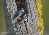 Boomzwaluw - Tree Swallow - Tachycineta bicolor