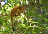 Geel doodshoofdaapje - Red-backed Squirrel Monkey - Saimiri oerstedii