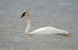 Trompetzwaan - trumpeter swan - Cygnus buccinator