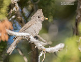 Ridgways Mees - Juniper Titmouse - Baeolophus ridgwayi