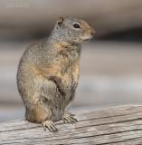 Uintagrondeekhoorn - Uinta ground squirrel - Urocitellus armatus