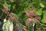 Kortsnavelduif - Short-billed Pigeon - Patagioenas nigrirostris