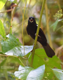 Witschoudertangare - White-shouldered Tanager - Tachyphonus luctuosus