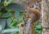 Roodstaartboomeekhoorn - Red-tailed squirrel - Sciurus granatensis