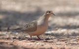 Treurduif - Mourning Dove - Zenaida macroura