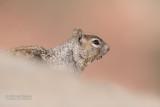 Rotsgrondeekhoorn - Rock squirrel - Otospermophilus variegatus