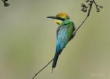 Regenboogbijeneter - Rainbow Bee-eater - Merops ornatus