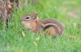 Mantelgrondeekhoorn - Golden-mantled ground squirrel - Callospermophilus lateralis