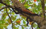Zwarthandslingeraap - Central American Spider Monkey - Ateles geoffroyi