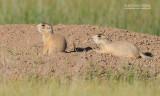 Witstaartprairiehond - White tailed prairydog - Cynomys leucurus