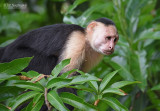 Witschouderkapucijnaap - White-faced Capuchin - Cebus capucinus