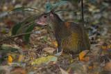 Midden-Amerikaanse agoeti - Central American Agouti - Dasyprocta punctata