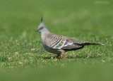 Spitskuifduif - Crested Pigeon - Ocyphaps lophotes