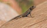 Plateau Lizard - Sceloporus tristichus