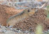 Berggoffer - Northern Pocket Gopher – Thomomys talpoides