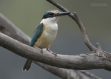 Heilige Ijsvogel - Sacred Kingfisher - Todiramphus sanctus