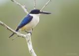 Macleays IJsvogel - Forest Kingfisher - Todiramphus macleayii