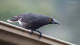 Woodswallows, Butcherbirds and Allies