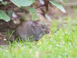 Moerasrat - South Africa Vlei Rat - Otomys irroratus