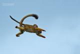 Grijsgroen doodshoofdaapje - Common squirrel monkey -  Saimiri sciureus