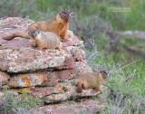 Geelbuikmarmot - Yellow-bellied marmot - Marmota flaviventris
